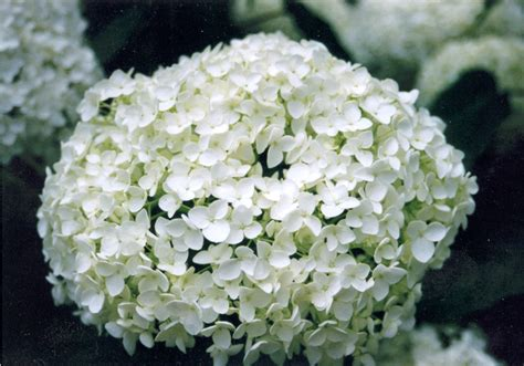 file hydrangea heads pale png wikimedia commons