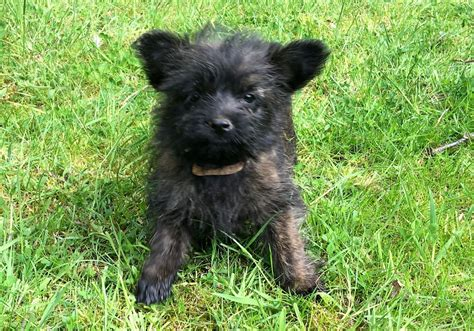 cairn puppies cairn terrier puppies boston lincolnshire pets4homes