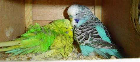 cocorite alimentazione allevamento cocorite pappagalli come allevare cocorite