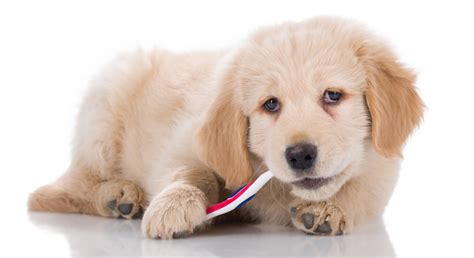brushing puppy teeth the importance of dental care for dogs