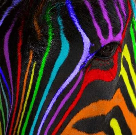 what color is a zebra 17 best images about zebra painting on rainbow