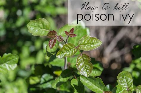 how to kill poison ivy ask anna
