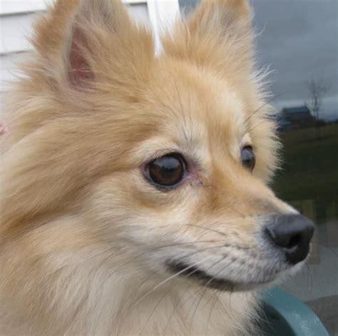 pomeranian separation anxiety the 25 best pomeranian mix ideas on pomsky pomsky puppies and fluffy