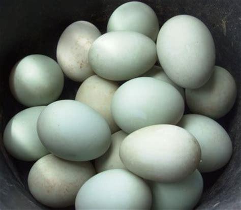 cara membuat telur asin itik telur asin bebekternak