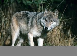 wolf vs coyote vs wolf www imgkid the image kid has it
