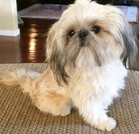 teacup shih tzu adults shih tzu breeder imperial and teacup dogs tuscanys tiny shih tzu