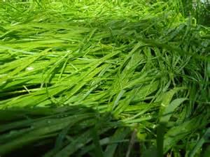 file sweet grass jpg