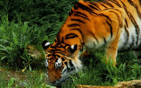 imagenes de tigres verdes fondo de pantalla tigre tomando agua 1280x800 fondo de
