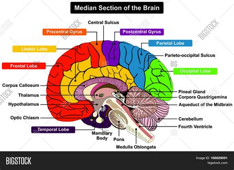 anatomy of the brain diagram median section human brain image photo bigstock