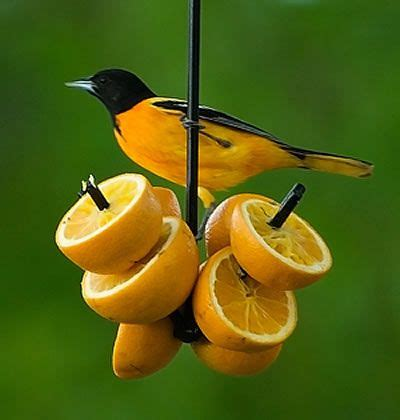 best 25 baltimore orioles birds ideas on pinterest the