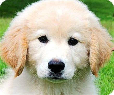 maremma golden retriever mix gatsby wow gorgeous puppy adopted puppy wakefield ri golden retriever great pyrenees mix