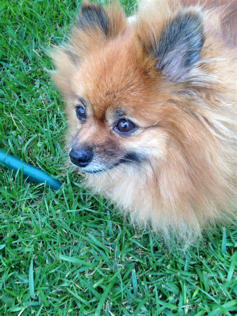 pomeranian rescue ct pomeranian rescue stories archives page 4 of 8