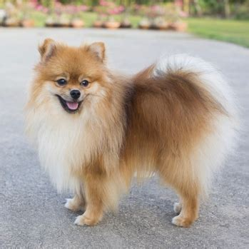 types of pomeranian breeds pomeranian breed information characteristics heath problems dogzone