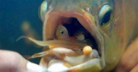 Udang Pakan Ikan Arwana ajas manfaat cara pemijahan ikan arwana