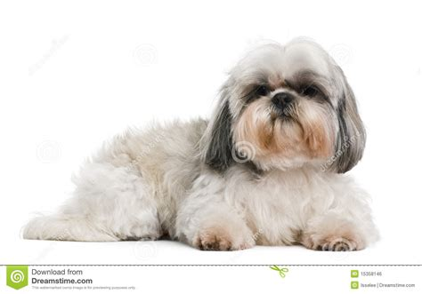 oldest shih tzu shih tzu 8 years royalty free stock image image 15358146