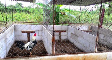 Alas Kandang Ayam Bangkok tips dan contoh kandang ayam aduan showroom dari jago