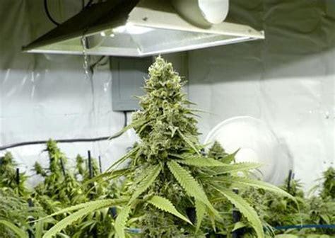 die verschiedenen arten len f 252 r cannabis vor und