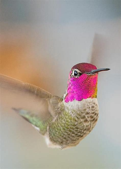 1200 best hummingbirds images on pinterest exotic birds