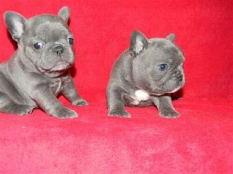 miniature blue bulldog puppies for sale blue bulldog puppies for sale zoe fans baby animals