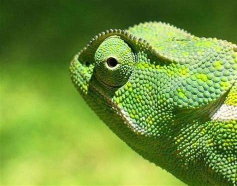 The Knights Of Av Lor by Chameleon Chamaeleonidae Animals A Z Animals