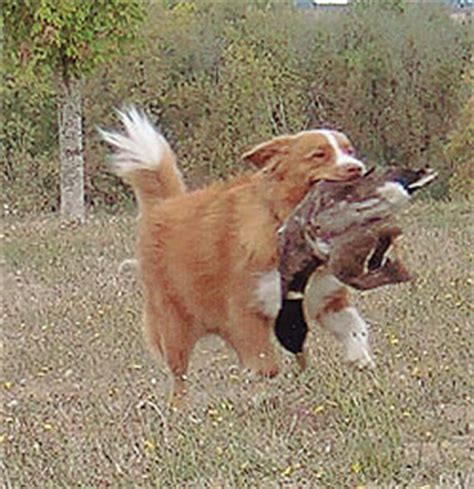 Boss Hunting Blinds The Nova Scotia Duck Tolling Retriever