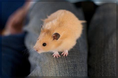 Makanan Hamster Golden Hamster golden hamster snoopy golden hamster sualk61 flickr