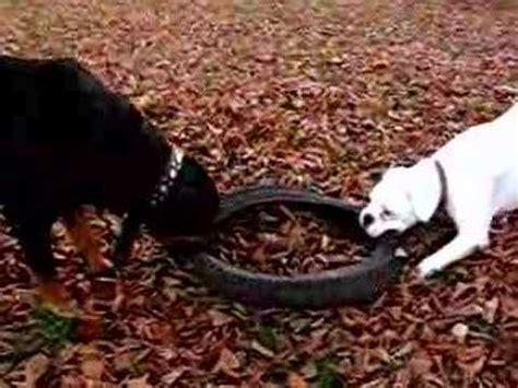 rottweiler vs boxer rottweiler vs boxer