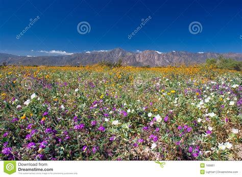 anza borrego bloom desert blooms at anza borrego stock image image 166861