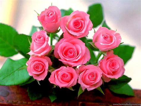 pink rose flowers wallpapers    mobiles