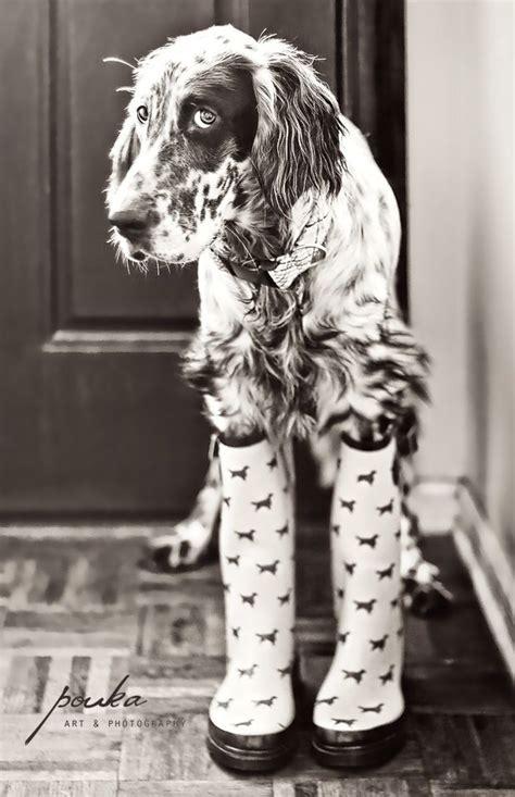 au setter dog lisieux the 25 best english setters ideas on pinterest english