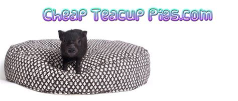 are teacup pugs real cheap teacup pigs real teacup pigs deal on teacup pig