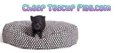 are teacup pugs real cheap teacup pigs real teacup pigs deal on teacup pig