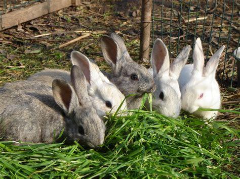 allevare animali da cortile allevare bio 1 171 conigli conigli