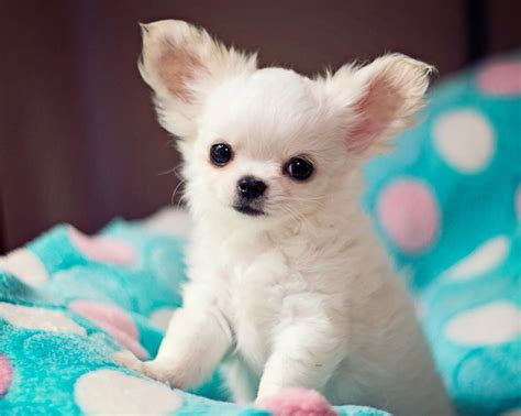 baby chihuahua puppies 25 best ideas about teacup chihuahua puppies on teacup chihuahua teacup