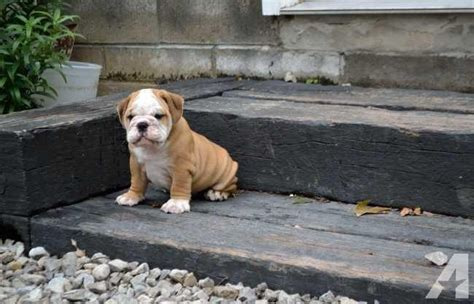bulldog puppies for sale in ma healthy bulldog puppies for sale in boston massachusetts classified