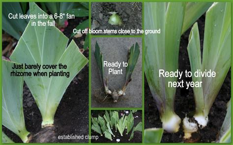 the time to plant or divide tall bearded iris sowing the seeds