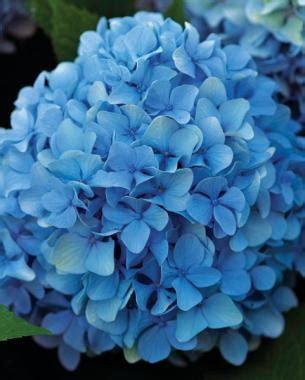 big flowers from bigleaf hydrangeas fine gardening