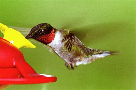 ruby throated hummingbird at feeder by alan lenk