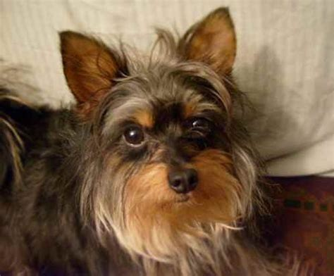 yorkie and terrier mix yorkillon papillon yorkie mix info temperament puppies and pictures