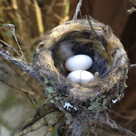 baby hummingbirds leave the nest these are the cutest