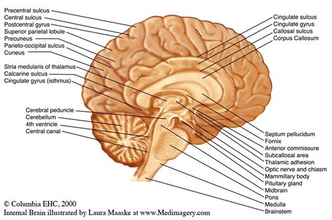sagittal section of brain labeled brain sagittal section with label and sulci gyri anatomy
