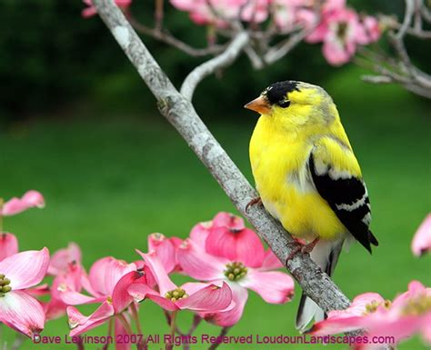 yellow finches 2 28 12