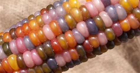 colorful corn rainbow corn unique strain of corn with naturally