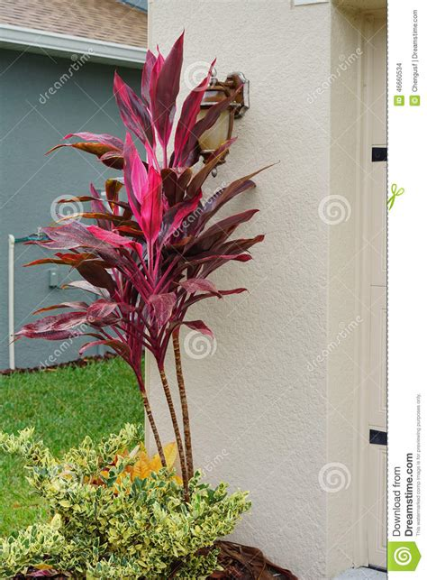 Colorful Tropical Plants - cordyline red sister plant stock photo image 46660534