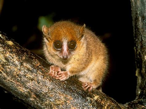 scogliattolo volante mouse lemur history on the net