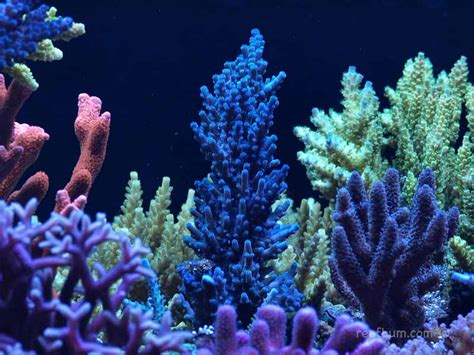 a reefbum s guide to keeping an sps reef tank a blueprint for success books sps dive orange montipora setosa reefbum