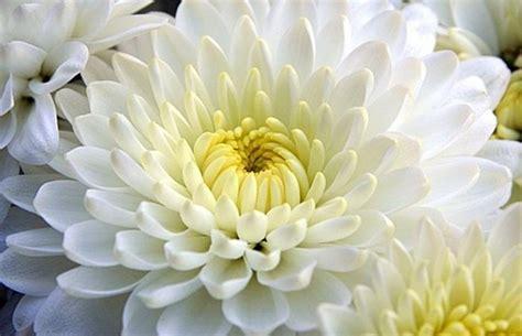 crisantemi fiori 2 novembre coldiretti 400 mln in fiori soprattutto