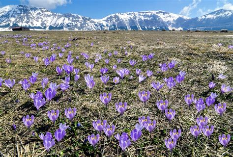 fiori di croco i fiori croco in abruzzo dizy foto