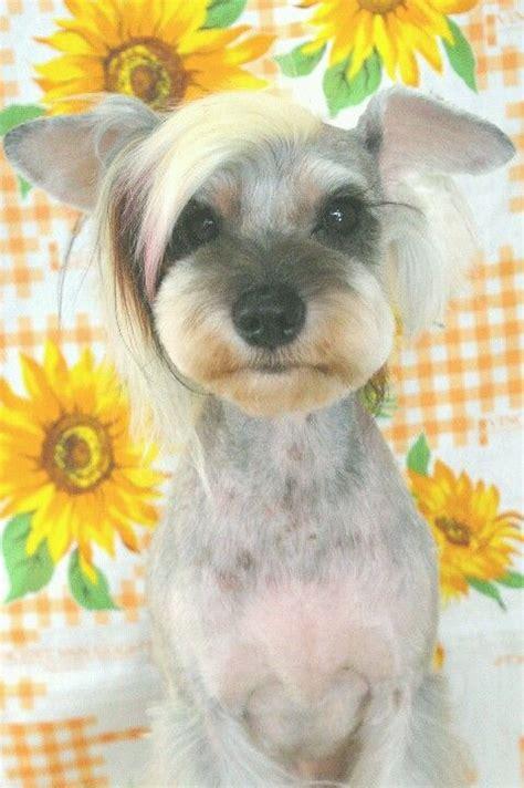 japanese style grooming yorkie schnauzer cut on yorkie hairstylegalleries