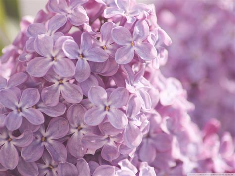 purple lilac purple images lilac flower hd wallpaper and background